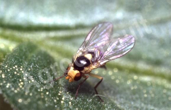 Ziemiórka zwalczanie - Miniarka owad dorosły