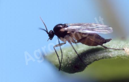 Ziemiórka zwalczanie - Ziemiórka owad dorosły