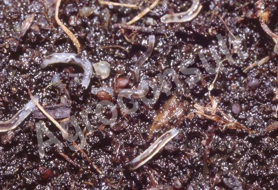 Ziemiórka larwy ziemiórki w glebie