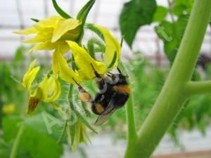 Trzmiele do zapylania,trzmiel zapyla kwiat pomidora