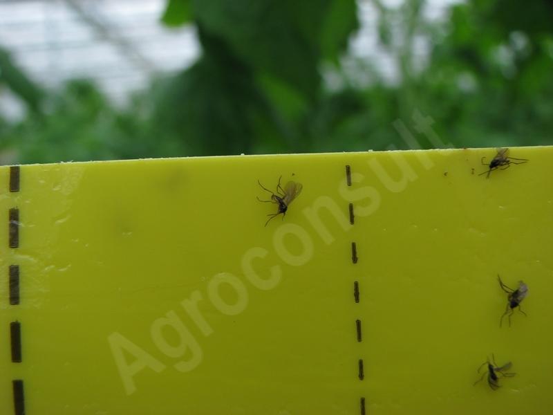 Ziemiórki zwalczanie - owady dorosłe na tablicy lepowej