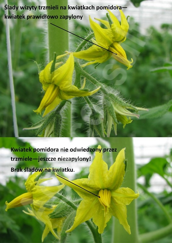 Trzmiele do szklarni zapylony i niezapylony kwiat pomidora