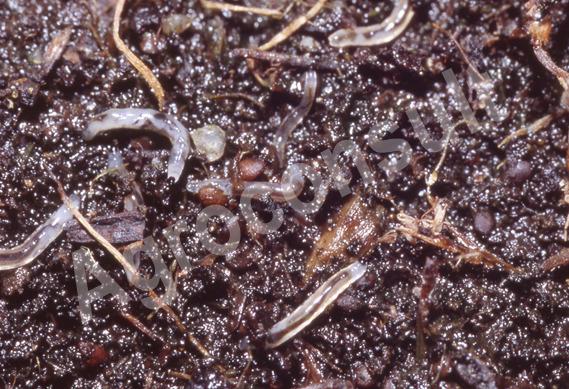 Ziemiórka larwy (Pleniówka) – zwalczanie