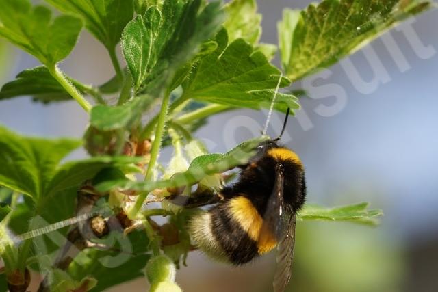 Polskie trzmiele i biologiczna ochrona roślin