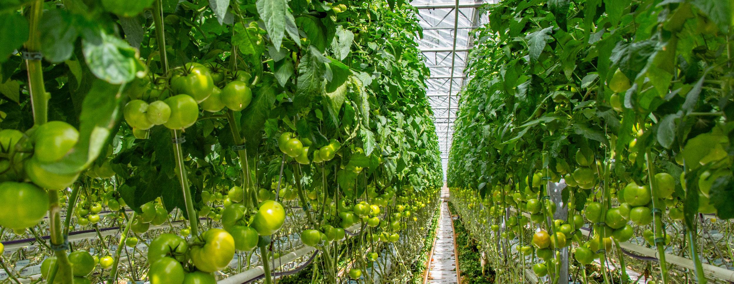 Brunatna wyboistość owoców pomidora