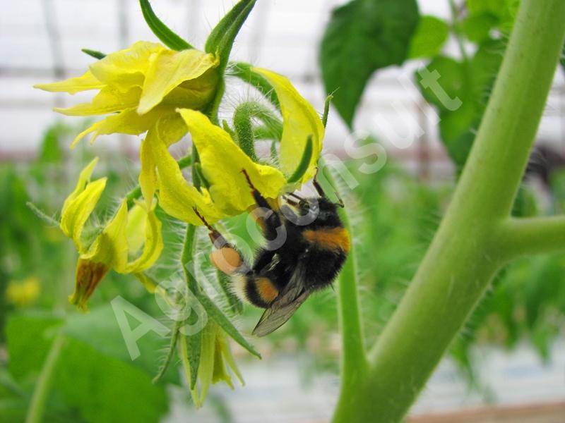 Biologiczna ochrona roślin i trzmiele